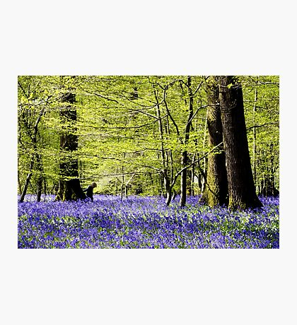 Arlington Bluebell Woods Photographic Print
