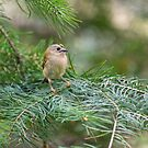 Goldcrest by M S Photography/Art