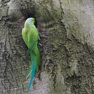 Ring-necked Parakeet by M S Photography/Art