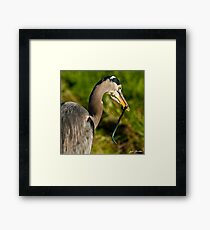 Blue Heron with a Snake in its Bill Framed Print