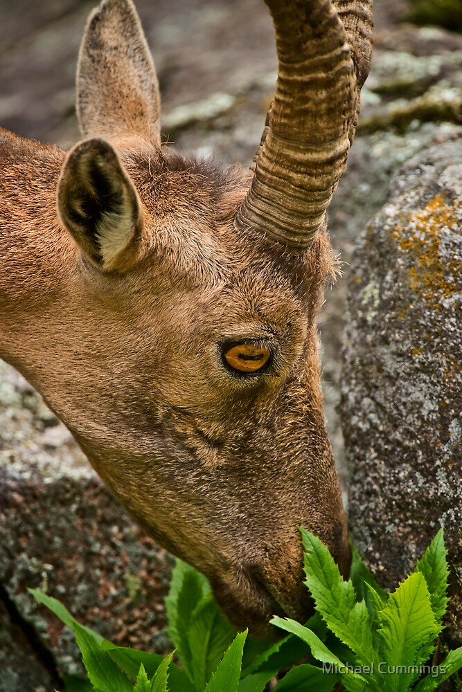 Ibex by Michael Cummings
