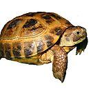 Greek Tortoise by LuckyTortoise