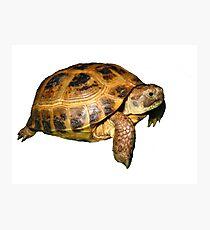 Greek Tortoise Photographic Print