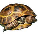 Greek Tortoises in Shell by LuckyTortoise