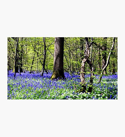 A Sea of Bluebells Photographic Print