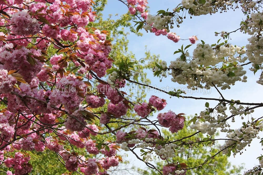 Pink and White Blossoms by Vicki Spindler (VHS Photography)