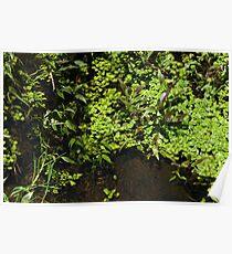 Aquatic Plants in a Stream Poster