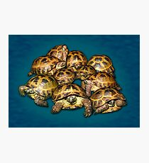 Greek Tortoise Group on Gray-Blue Background Photographic Print