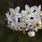 Potato Vine Flowers by Joy Watson