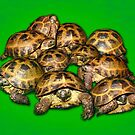 Greek Tortoise Group on Bright Green Background by LuckyTortoise