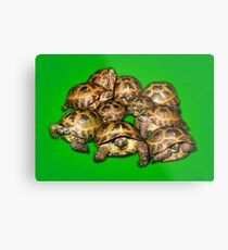 Greek Tortoise Group on Bright Green Background Metal Print