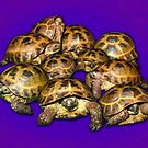 Greek Tortoise Group on Purple Background by LuckyTortoise