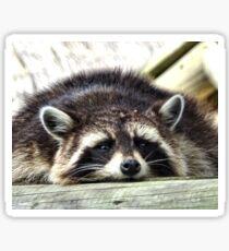 Tired Raccoon Sticker