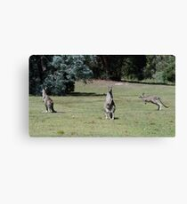 Trio of kangaroos Canvas Print