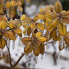 Ice Storm 2013 - Frozen Azalea Leaves  by Georgia Mizuleva