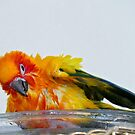 A Bath With A Smile - Sun Conure  by AndreaEL