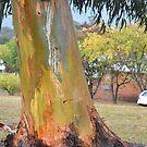 Australian Gum Tree by Judy Woodman