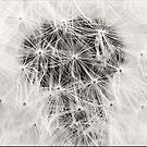 Dandelion Seeds B&W by Bahoke