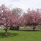 The cherry trees in full bloom by vigor