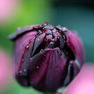 Purple Tulip by Martina Fagan