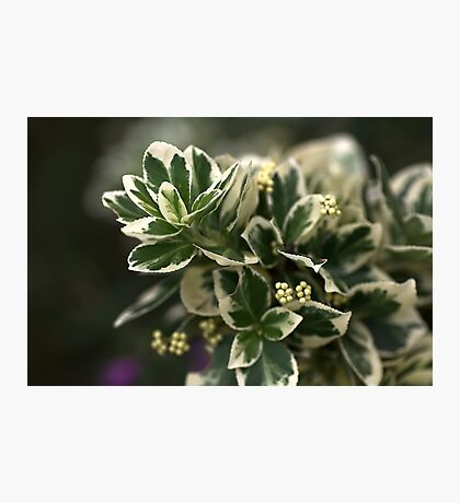 Variegated leaves Photographic Print