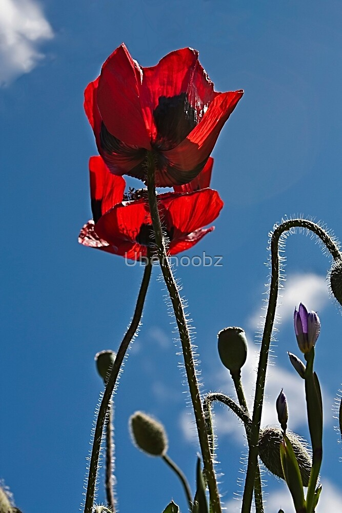 Poppies In Late Afternoon by Ubernoobz