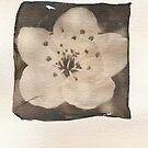 Cherry Blossom by mewalsh