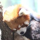 The Red Panda by Olivia Plasencia