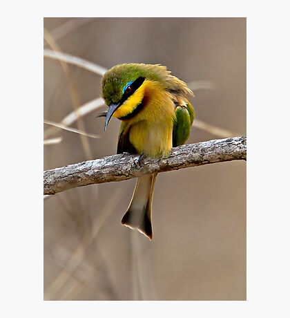 Little Bee Eater Photographic Print