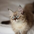 White siberian blueye kitten by yana-shonbina