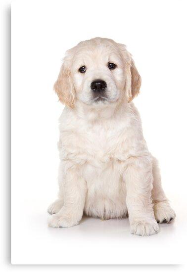 Fluffy White Puppy Dog Golden Retriever Labrador Canvas Prints By