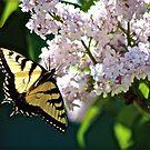 First Swallowtail 2016 by autumnwind