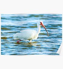 Ibis at Fort De Soto State Park Poster