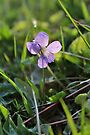 Common Blue Violet II by Kathleen Daley