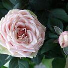 Roses  by BC Family