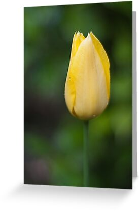 0703 Yellow Tulip by DavidsArt