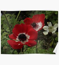 Bright Red Poppy Twins..Macro Poster