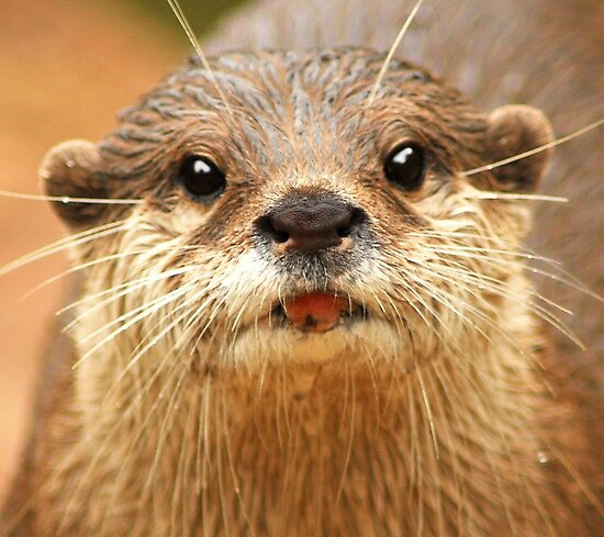 Asian Small Clawed Otter by Anthony Hedger Photography