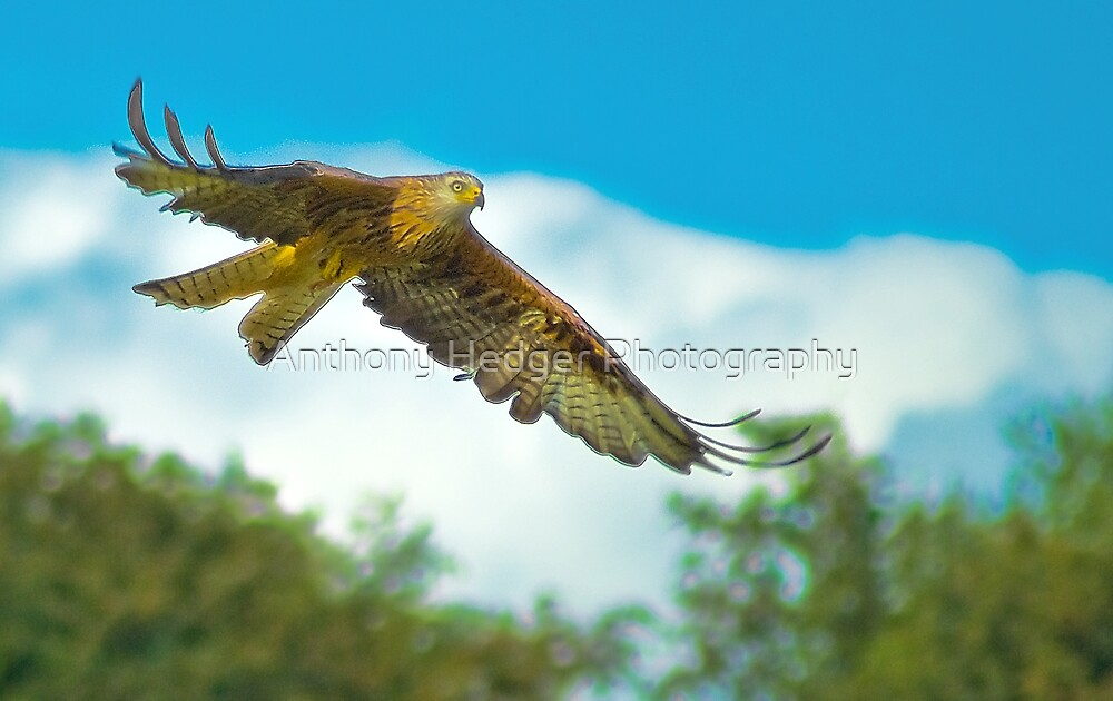 Red Kite by Anthony Hedger Photography