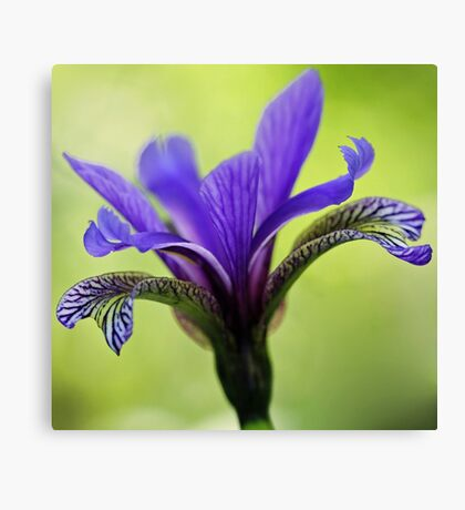 Blue Flag Iris Canvas Print