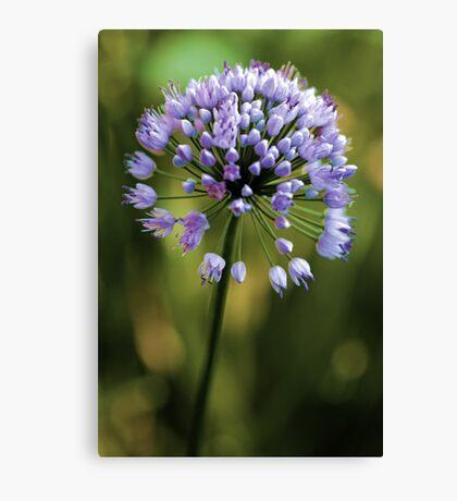 Allium --- Lavender Millenium Canvas Print