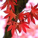 japanese red maple by Beth Brightman