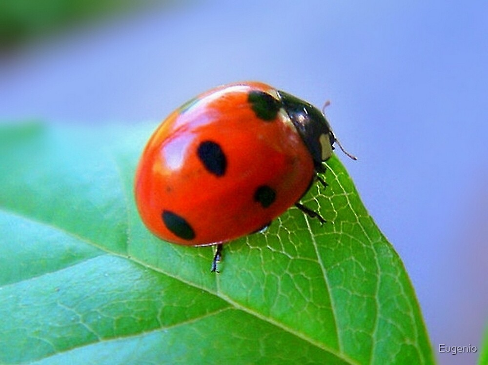 Coccinellidae.... by Eugenio