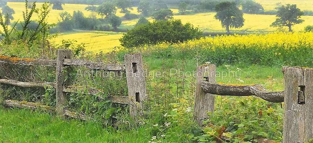 Fields of gold by Anthony Hedger Photography