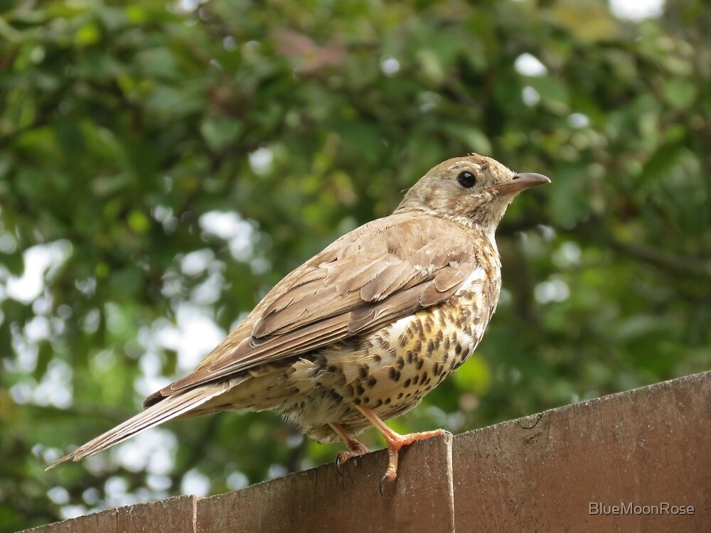 Thrush On Garden Fence by BlueMoonRose