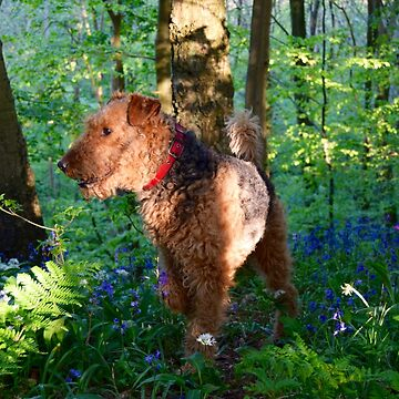 Airedale in the Woods by shutterhappy
