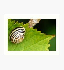 A Shiny Snail..........Dorset UK Art Print