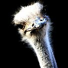 Ostrich Head Portrait Isolated on Black by taiche