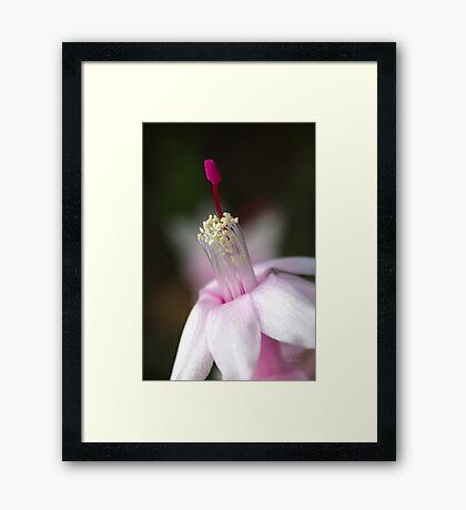 Pink Zygocactus Framed Print