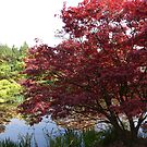 Spring japanese maple tree by a pond. by naturematters